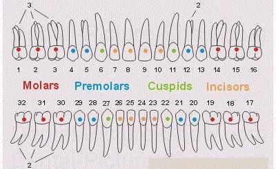 تعداد ریشه و کانال دندان ها